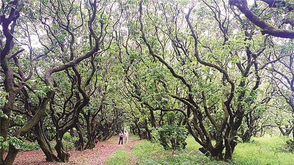 木棉花古树图片